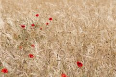 Red poppy in a cornfield. Nature background of cornfield with poppies Royalty Free Stock Photography