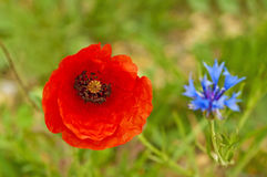 Red poppy and cornflower Stock Images