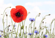 Red poppy and cornflowers, in light colors Stock Photos