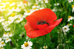 Red poppy and daisies Stock Photography
