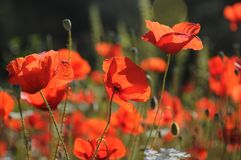 Red poppy dangled gently in the wind. Red poppy field is a magnificent landscape. The red poppy field is a magnificent view. everywhere in the spring red royalty free stock images