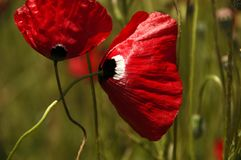 Red poppy dangled gently in the wind royalty free stock photo