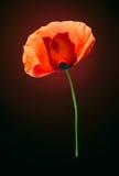 Red poppy on dark brown background. Red field poppy on dark red-brown background royalty free stock image