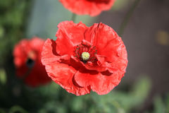 Red poppy. Red decorative poppy in Siberian garden Royalty Free Stock Photography