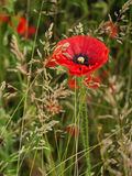 Red poppy in a dense green grass in the morning Royalty Free Stock Photography