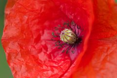 Red poppy detail Stock Images