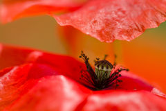Red poppy detail Stock Photo