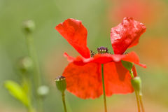 Red poppy detail Stock Image