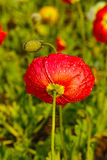 Red poppy and drops Stock Photo