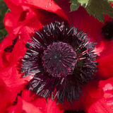 Red poppy macro Royalty Free Stock Images