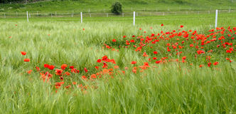 Red Poppy in the field Royalty Free Stock Photos