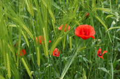 Red Poppy in the field Stock Photography
