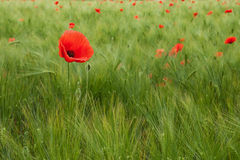 Red Poppy in the field. Red poppy in green wheat field Royalty Free Stock Photography