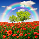 Red poppy field. Rainbow above the spring landscape with red poppy Stock Image