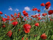Red poppy in the field Stock Photos