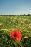 Red poppy in field Stock Photo