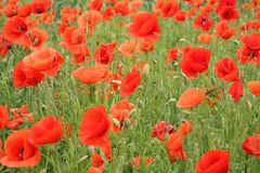 Red poppy field. Beautiful field of red poppies Stock Image