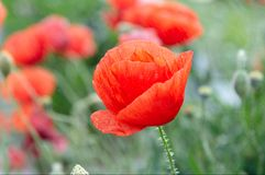 Red poppy on a field. Red poppies on a field in spring Stock Photo