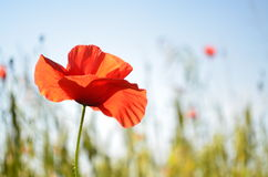 The red poppy Royalty Free Stock Photo
