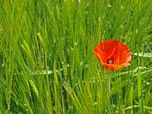 Red poppy in field Royalty Free Stock Photography