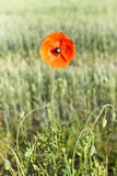 Red Poppy in the field Royalty Free Stock Image