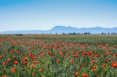Red poppy field an amazing in Morocco, royalty free stock photography