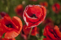 The red poppy field, beautiful nature Stock Photography