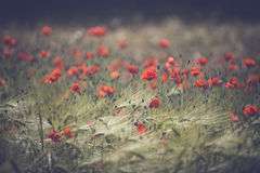 Red poppy field. Beautiful poppies growing and blooming in the warm sunlight Royalty Free Stock Photography