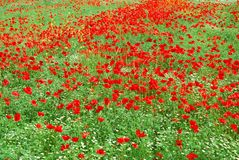Red poppy field in bloom Stock Photos