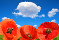 Red poppy field Royalty Free Stock Images