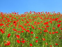Red poppy field at blue sky Stock Image