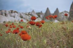 Red poppy field Stock Photo