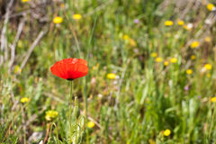 A red poppy in the field. Close-up. Close-up. Stock Images