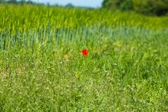 A red poppy in a field of crops Royalty Free Stock Image