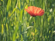 Red poppy field desaturated. Red poppy in a field desaturated royalty free stock photos