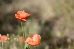 Red poppy. Poppy field, flowers stock images