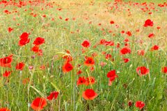Red poppy field. Stock Image