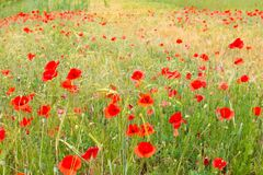 Red poppy field. Royalty Free Stock Photography