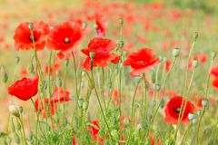 Red poppy field. Stock Photography