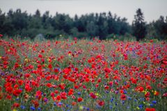 Red poppy field and forest stock photos