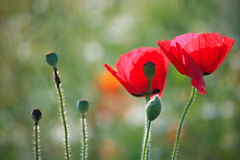 Red poppy in field Royalty Free Stock Photos