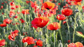 Red poppy on the field with green grass. stock footage