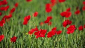 Red poppy in field stock video footage