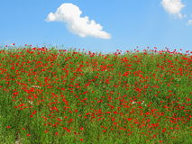 Red poppy field hillside Royalty Free Stock Image