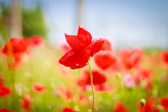 Red poppy in a field Royalty Free Stock Photos