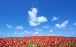 Red poppy field and lone tree Stock Photography