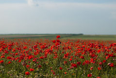 Red poppy field Stock Images