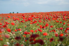 Red poppy field Royalty Free Stock Photos