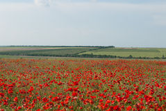 Red poppy field Stock Image