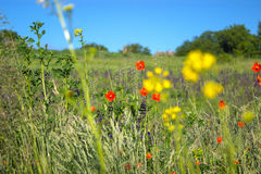 Red poppy field. Red poppy in the field at morning stock photography